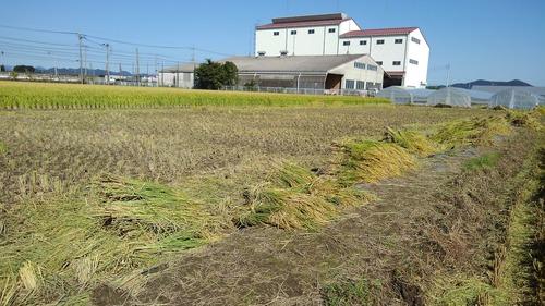 2018稲刈り5.JPG